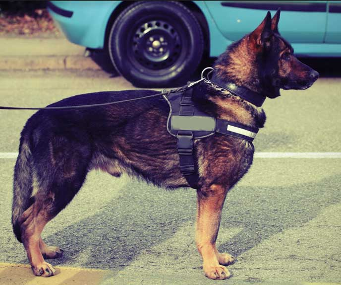 Guard Dog in a residential street